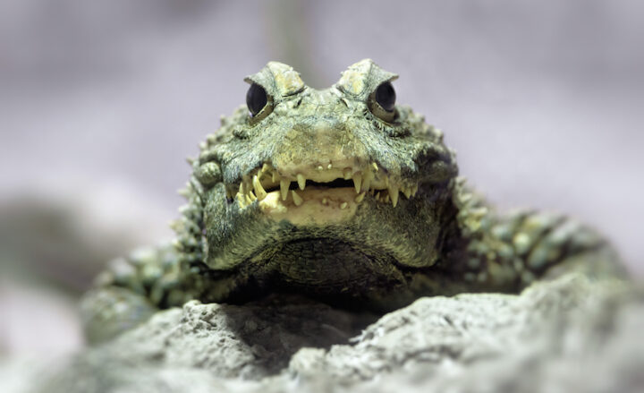 Il Coccodrillo Come Fa? - What Does the Crocodile Say?