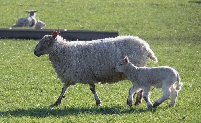 italian word for lamb is agnello