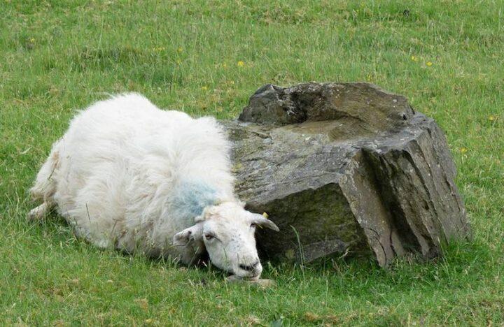 italian word for sheep is pecora