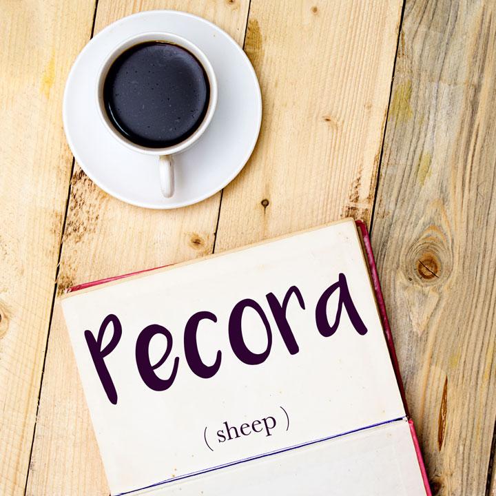 Italian Word of the Day: Pecora (sheep)