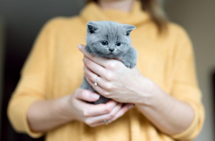 grey kitten held by women hands