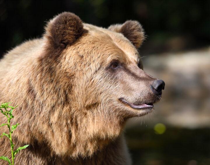 close-up of a brown bear