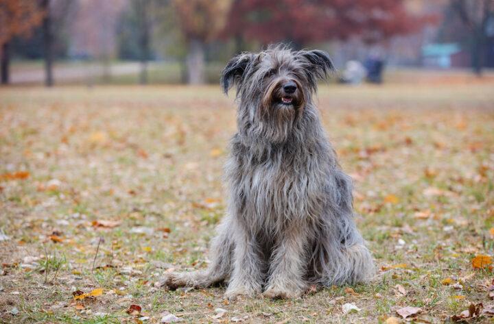 grey shaggy dog