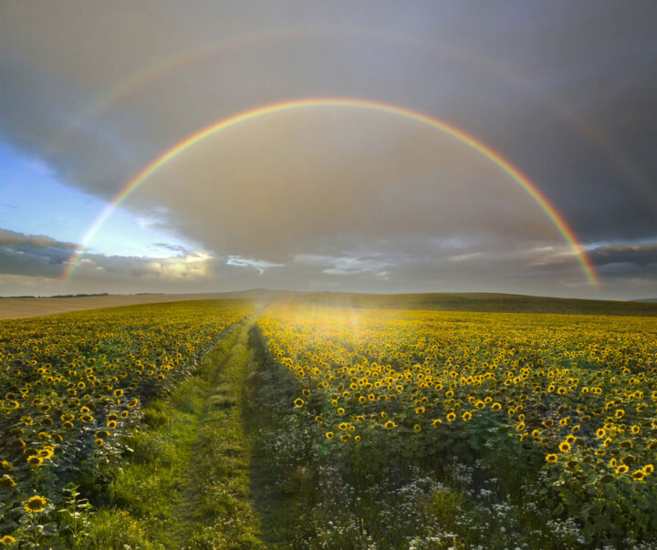 sunflower field with a rainbow in the background