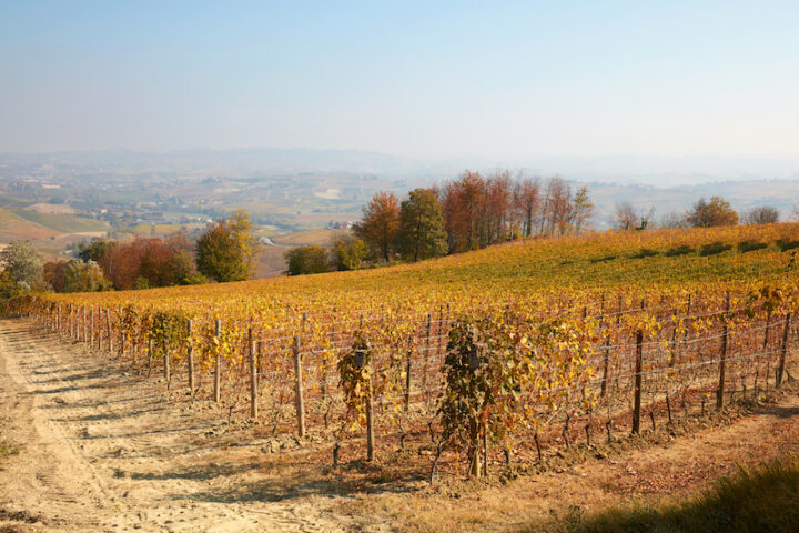 Vineyard in autumn with yellow leaves and hills and trees view in a sunny day