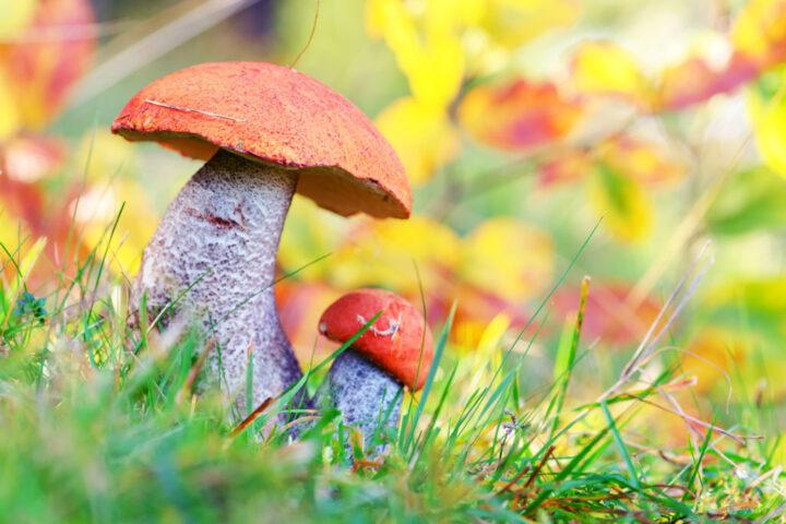 wild mushrooms with orange top