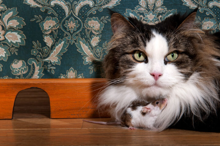 mouse rubbing against a cat