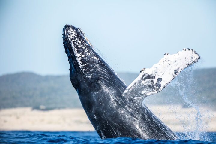 A humpback whale jumping out of water
