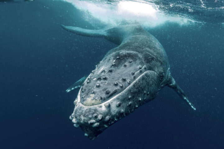 humpback whale calf underwater