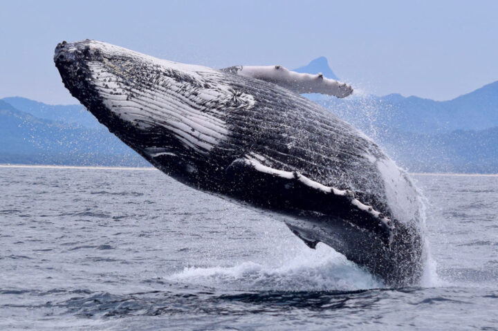 Humpback Whale jumping out of water