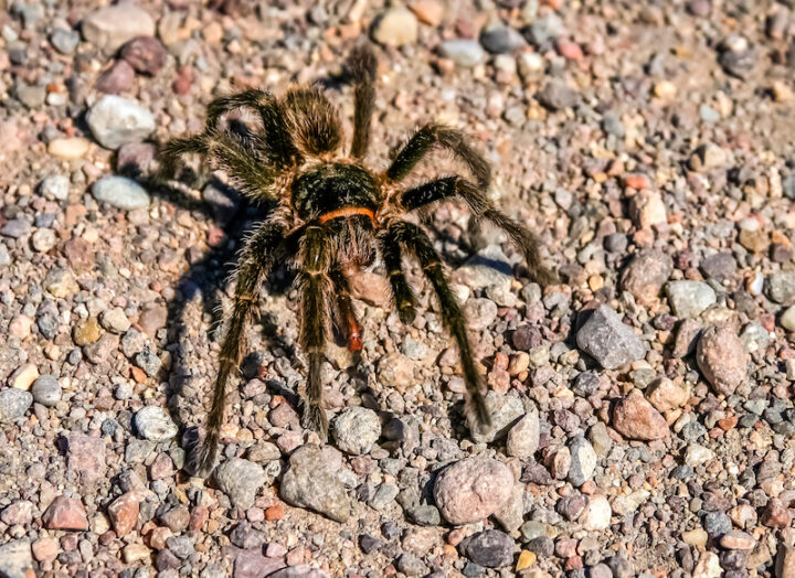 Big hairy and scary patagonian spider moving through pampa, Argentina