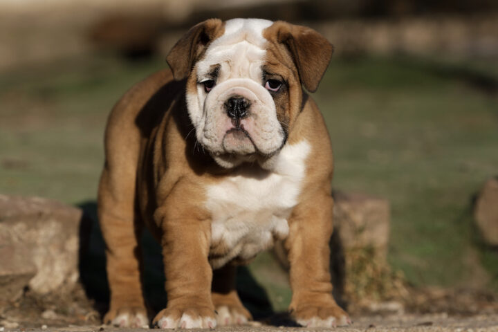 Funny portrait of puppy english bulldog