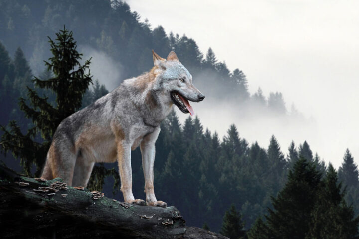 Wolf hunting in the mountain