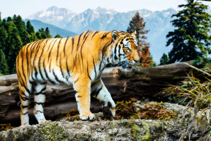 tiger in the wild habitat with mountains in the background