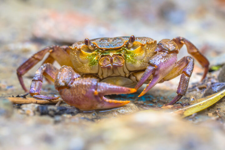 European freshwater crab (Potamon fluviatile) on light background