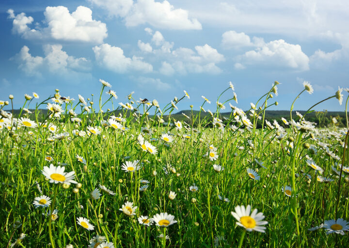 Meadow of daisy flower. Nature composition.