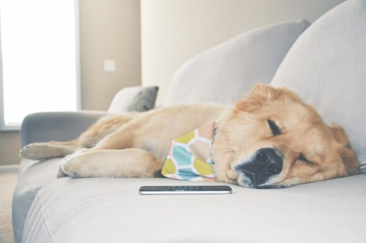 dog sleeping on a grey couch with a smartphone next to its head