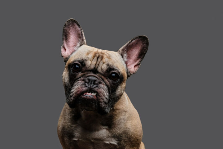 Close-up photo of a growling pug