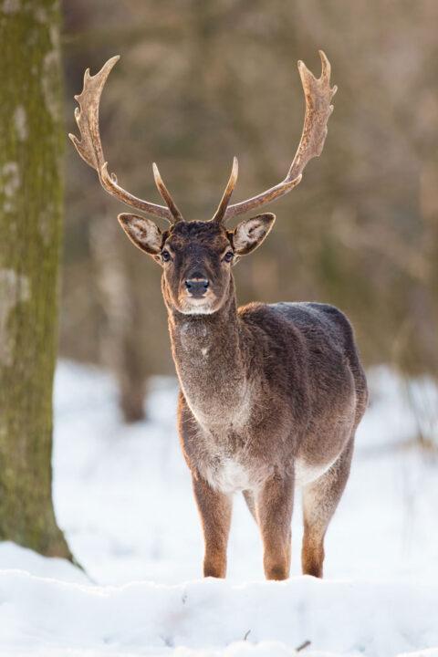 Wild Fallow male deer standing in snow