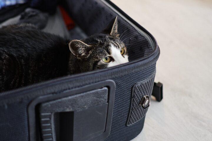cat inside a suitcase