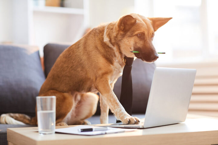 Full length portrit of dog wearing tie siting at desk and using computer