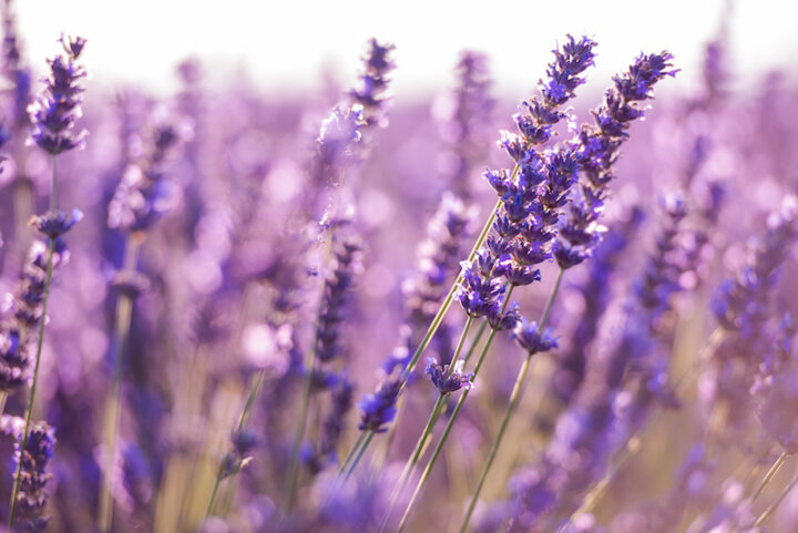 closeup purple lavender field blooming flower   with sunlight flare in bacground nature  calm scene