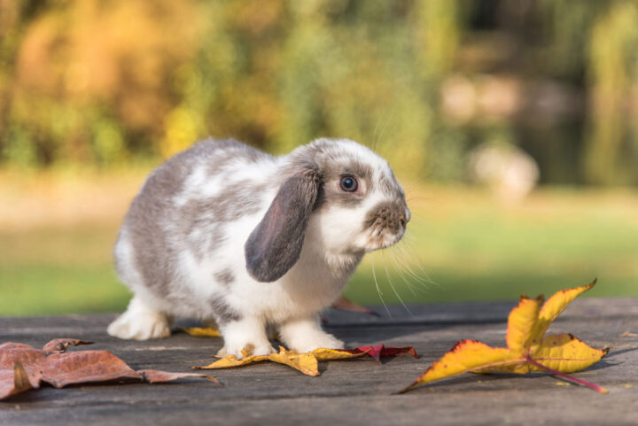 domestic bunny on the a wooden table outside