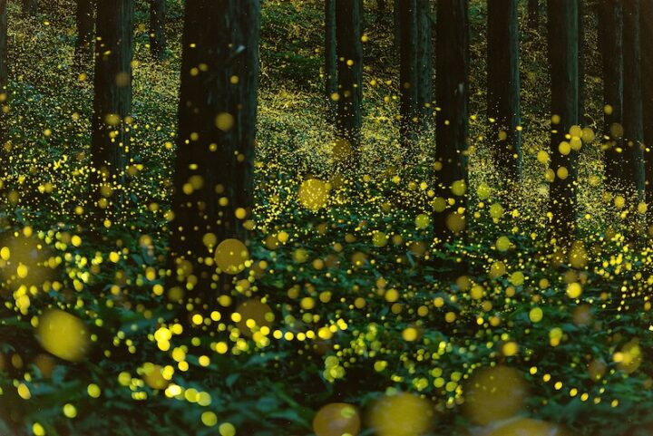 A forest filled with fireflies