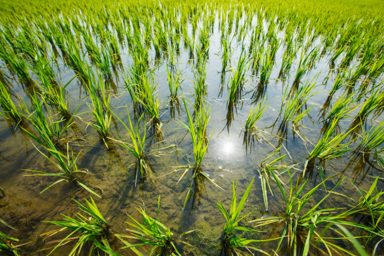Rice paddy field, South India