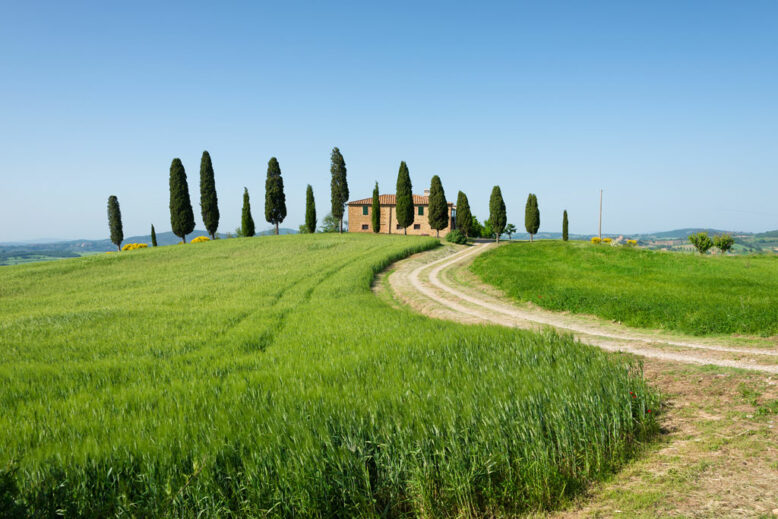 farm house with cypress trees in front of the villa and a barley wheat field with a curvy driveway under a clear blue sky in Pienza, Val d'Orcia in Tuscany, Italy.